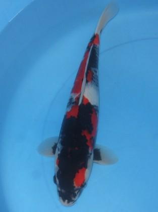 錦屋養鯉場  昭和三色 42cm  錦鯉金魚販売 通信販売 錦屋養鯉場