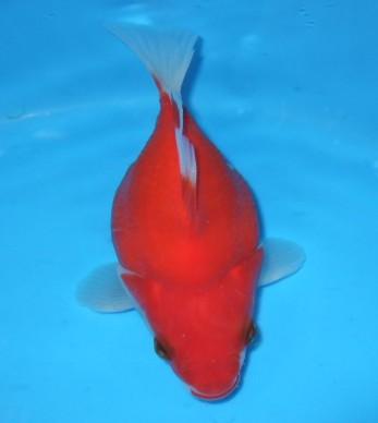 錦屋養鯉場 福だるま   透明鱗 15cm 錦鯉販売 通信販売 錦屋養鯉場