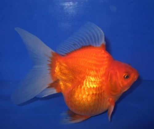 金魚―67