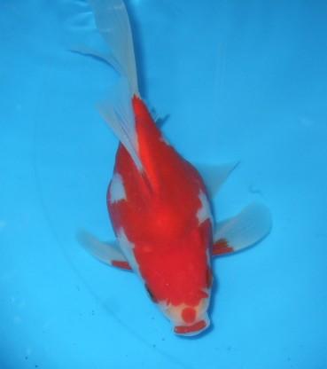 錦屋養鯉場 福だるまミドル  透明鱗 17cm 錦鯉販売 通信販売 錦屋養鯉場