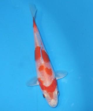 桜黄金 11cm