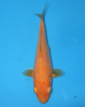 錦屋養鯉場 黄赤鯉 12cm 錦鯉 福だるま販売 通信販売 錦屋養鯉場