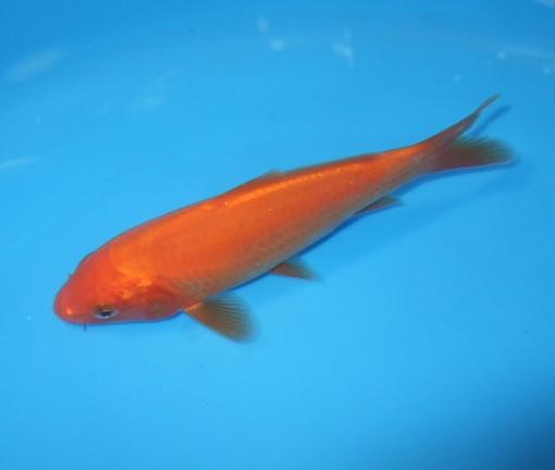 錦屋養鯉場 紅鯉 12cm 錦鯉 金魚販売 通信販売 錦屋養鯉場