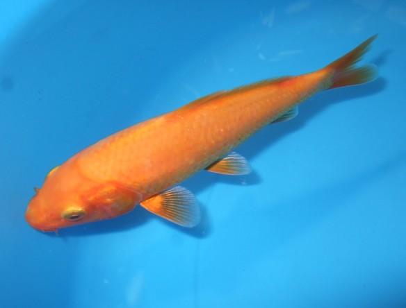 錦屋養鯉場 黄赤鯉 14cm 錦鯉 福だるま販売 通信販売 錦屋養鯉場
