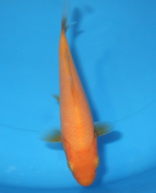 黄赤鯉 14cm