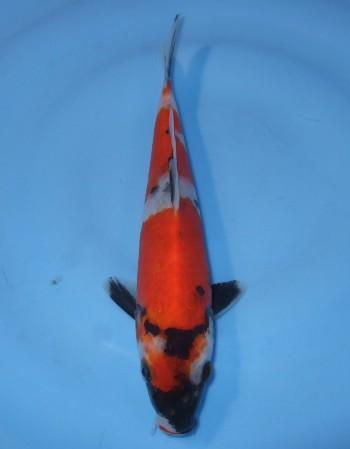 錦屋養鯉場  昭和三色 21cm  錦鯉 福だるま金魚販売 通信販売 錦屋養鯉場