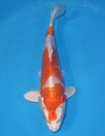 紅プラチナ 24cm