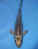 メタリック 空鯉 23cm