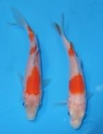 紅白 2匹セット 9cm