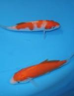 紅白 2匹セット 10cm