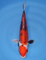 紅輝黒龍 33cm