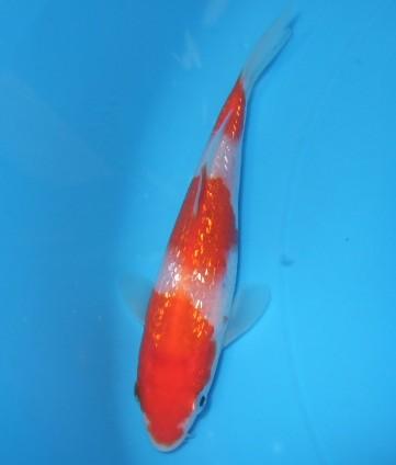 錦屋養鯉場   銀鱗 紅白 13cm  錦鯉販売 通信販売 錦屋養鯉場