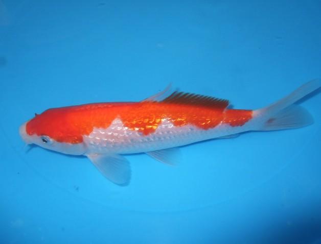 錦屋養鯉場   銀鱗 紅白 17cm  錦鯉販売 通信販売 錦屋養鯉場