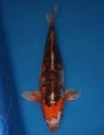 紅輝黒龍 58cm