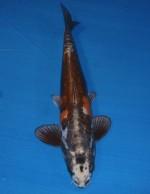 紅輝黒龍 54cm
