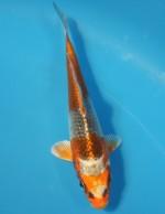 クジャク黄金 14cm