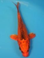紅輝黒龍 17cm