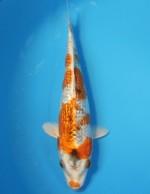 ダイヤ銀鱗クジャク黄金 19cm