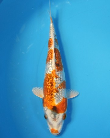錦屋養鯉場  ダイヤ銀鱗クジャク黄金 19cm  錦鯉販売 通信販売 錦屋養鯉場