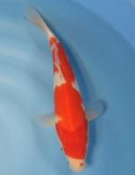 紅白 30cm