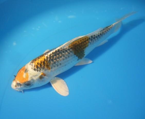 錦屋養鯉場  クジャク黄金 20cm  錦鯉 金魚販売 通信販売 錦屋養鯉場