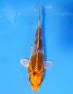 クジャク黄金 12cm
