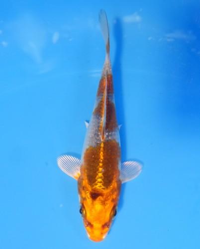 錦屋養鯉場  クジャク黄金 12cm  錦鯉 金魚販売 通信販売 錦屋養鯉場