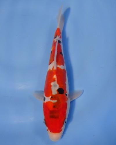 錦屋養鯉場  ドイツ大正三色 22cm  錦鯉 金魚販売 通信販売 錦屋養鯉場
