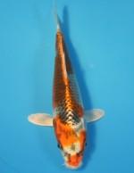 クジャク黄金 18cm