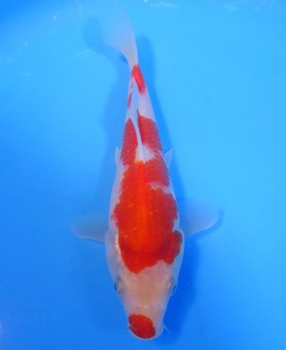 錦屋養鯉場  口紅  紅白 18cm  錦鯉販売 通信販売 錦屋養鯉場