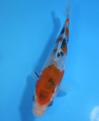 錦屋養鯉場  大正三色 16cm  錦鯉 金魚販売 通信販売 錦屋養鯉場