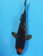 変わり鯉 12cm