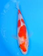 紅白 18cm
