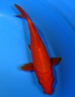紅鯉(7本ひげ) 21cm