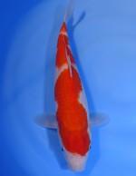 紅白 33cm