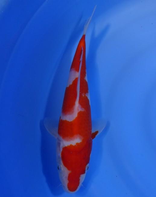 錦屋養鯉場  紅白 26cm  錦鯉販売 通信販売 錦屋養鯉場