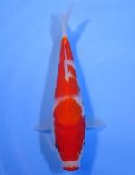 口紅 紅白 21cm