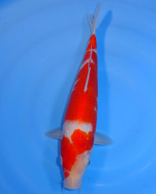錦屋養鯉場  紅白 28cm  錦鯉販売 通信販売 錦屋養鯉場