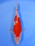 紅白 27cm