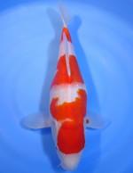 紅白 35cm