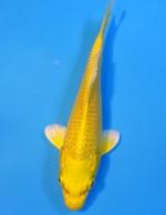 ゴールド 16cm