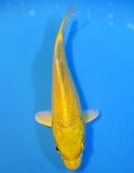 黄金 14cm