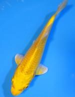 ゴールド 15cm