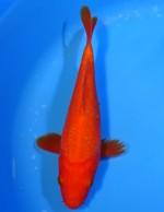 紅鯉 18cm