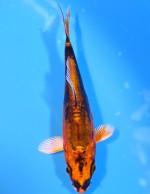 ゴールド 輝黒龍 9cm
