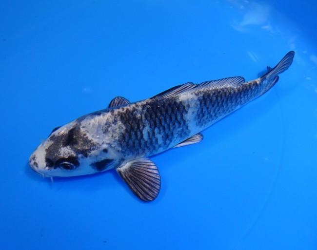 錦屋養鯉場 銀白写り 16cm 錦鯉販売 金魚販売 通信販売 錦鯉養鯉場