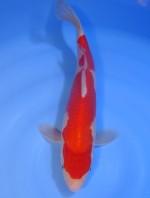 紅白 31cm