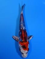 紅 輝黒龍 19cm