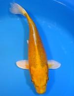 ゴールド 29cm