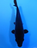 カラス鯉 16cm